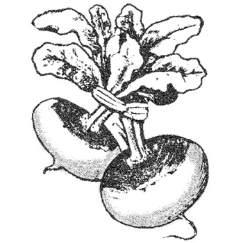 Shogoin Turnip