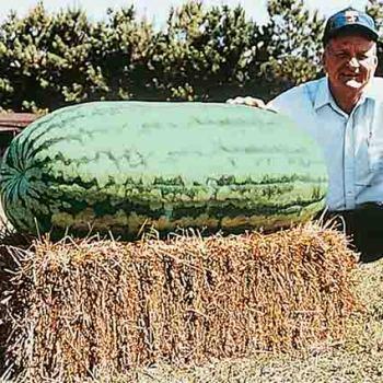 Carolina Cross 183 Watermelon