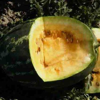 Tendersweet Yellow Watermelon