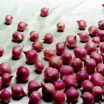 Holland Red Shallots