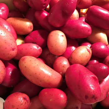 Clancy Potato Seed