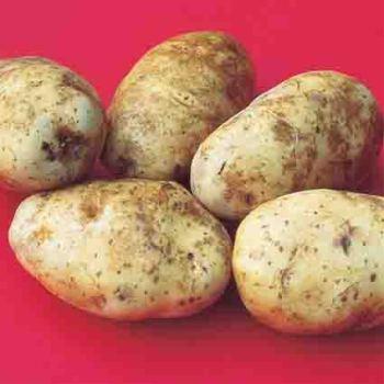 Norkotah Russet Potato