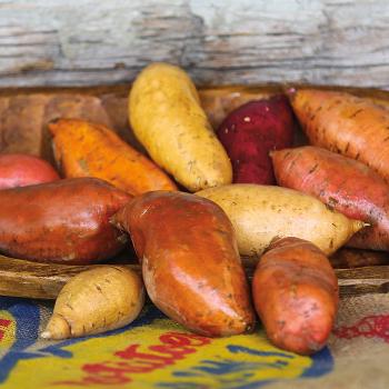 All Season Sweet Potato Collection