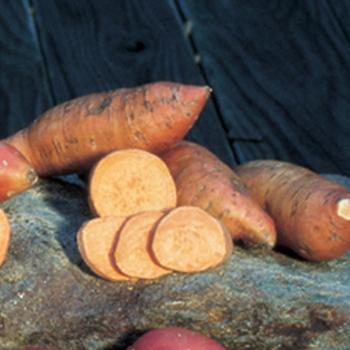 Vineless Porto Rico Sweet Potato