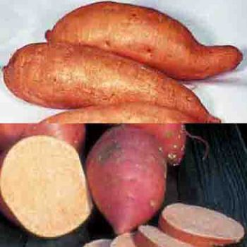 Sweet Potato Northern Collection