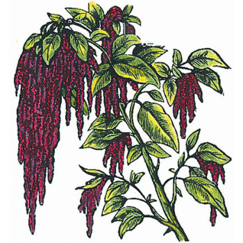 Love Lies Bleeding Amaranthus