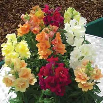 Twinny Mix Snapdragon