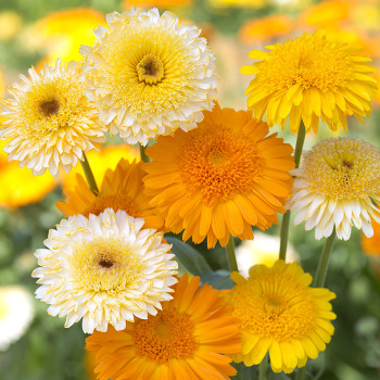 Kinglet Mix Calendula