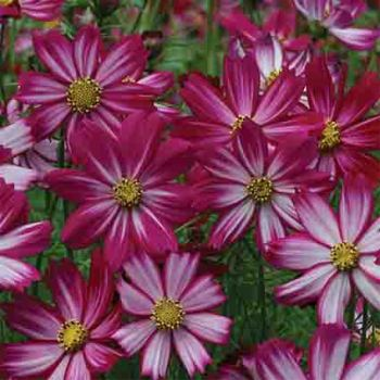 Cosmos Cosimo Peppermint Candy