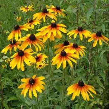 Single Mixed Gloriosa Daisy