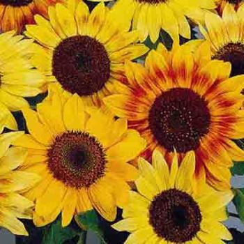 Autumn Beauty Sunflower