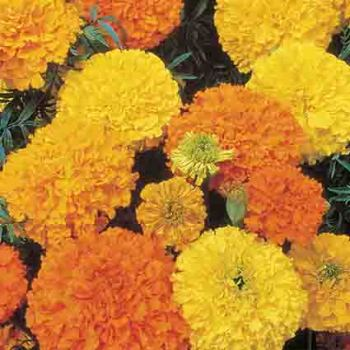 Crackerjack Mixed Marigold