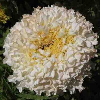 Ivory Marigold