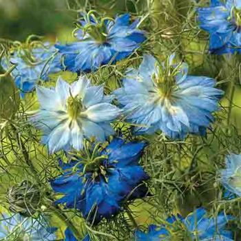 Moody Blues Nigella
