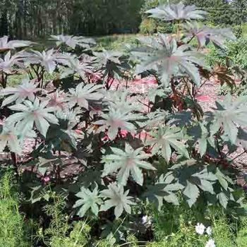 Carmencita Bright Red Castor Bean