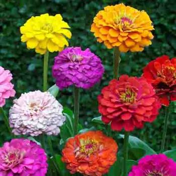Cut And Come Again Mixed Zinnia