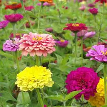 Giant Dahlia Flowered Mixed Zinnias