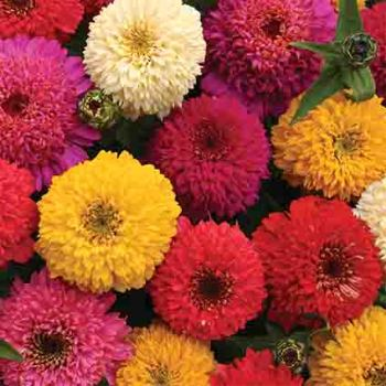 Candy Mix Zinnia