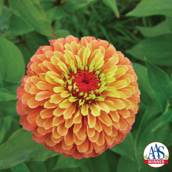 Queeny Lime Orange Hybrid Zinnia