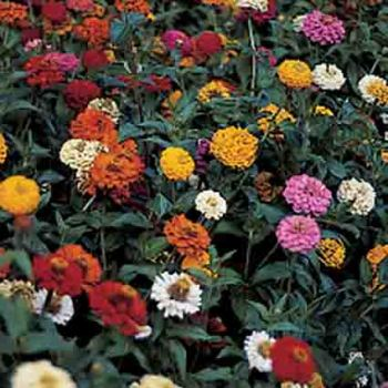 Thumbelina Mix Zinnia