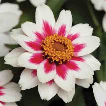Starlight Rose Zinnia