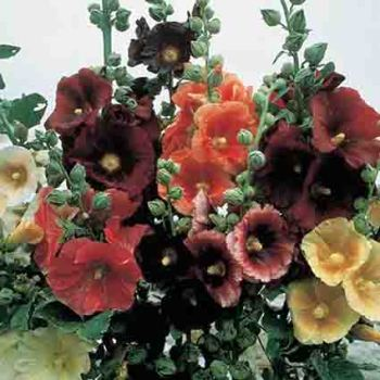 Outhouse Single Hollyhock Mix