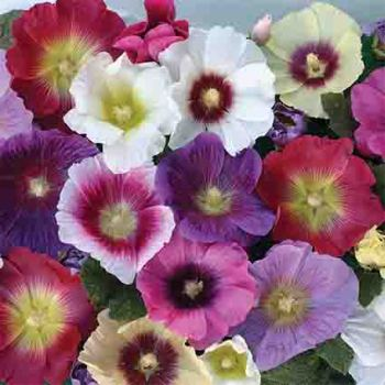 Halo Mix Hollyhock