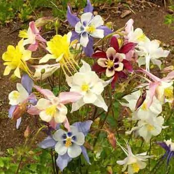 Mckanas Giant Mixed Columbine