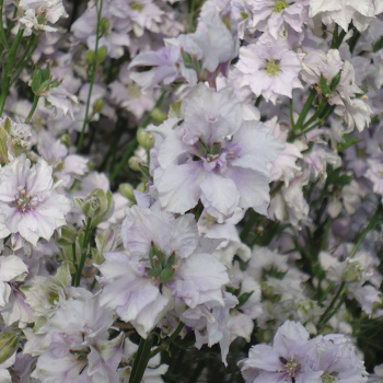 Smokey Eyes Delphinium
