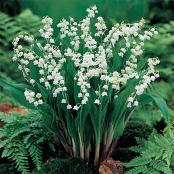 White Lily Of The Valley