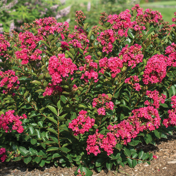 Raspberry Bellini Crepe Myrtle