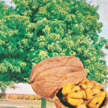 Carpathian English Type Walnut