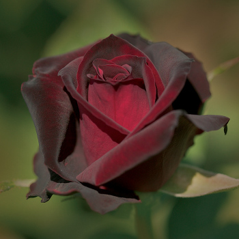 Ink Spots Hybrid Tea Rose