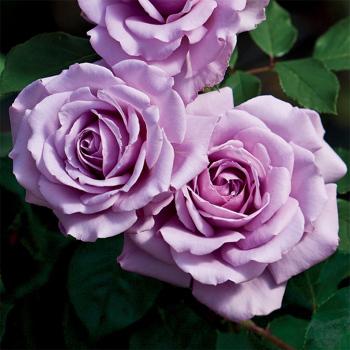 Love Song Floribunda Rose