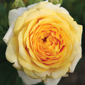 Tupelo Honey Floribunda Rose