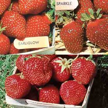 Everbearing Strawberry Collection