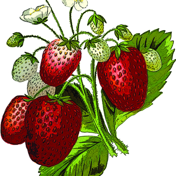 Eversweet Strawberry Plants