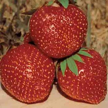 Tristar Strawberry
