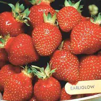 Earliglow Strawberry