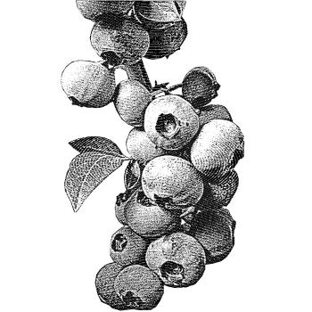 Blueberry Bargain
