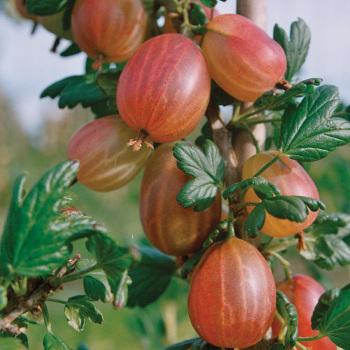 Tixia Gooseberry