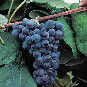 Mars Blue Seedless Grapes
