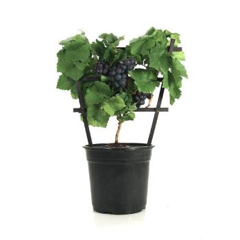 Pinot Meunier Purple Pixie Grape