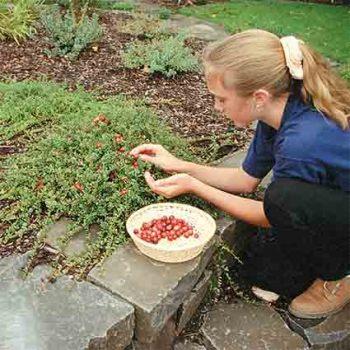 Pilgrim Cranberry