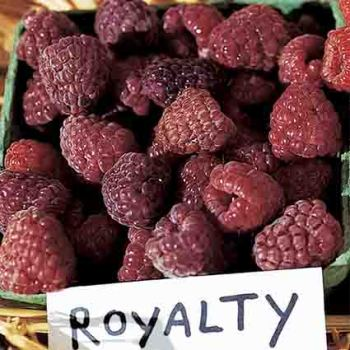 Royalty Purple Red Raspberry