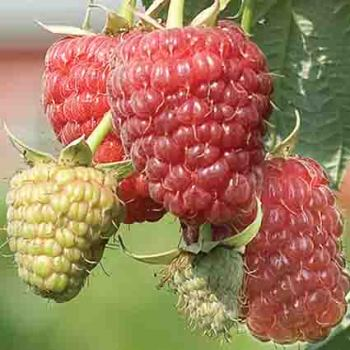 Caroline Everbearing Raspberry