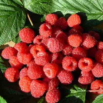 Raspberry Offer