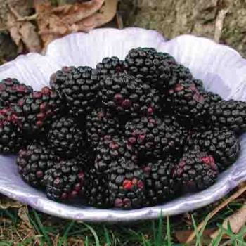 Chester Thornfree Blackberry