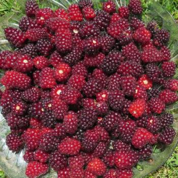 Giant Thornless Boysenberry
