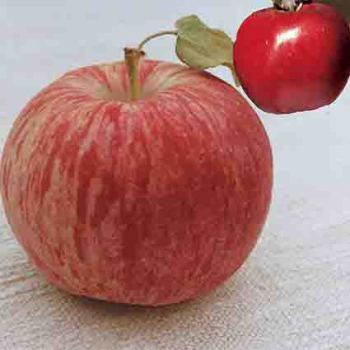 Heirloom Apple Pair Offer